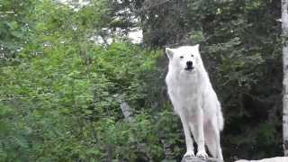 Download International Wolf Center - A Tribute to Shadow - 7 July 2014 Video