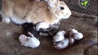 Download Care of Pregnant and Delivered Rabbit and Newly Born Kittens Video