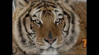 Download Lions and Tiger Get Habitat Video