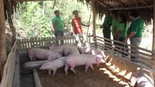 Download Babuyang Walang Amoy in Ilocos Sur Ilocos Norte Abra and La Union II Video