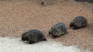 Download Rare Echidna Trailing at Taronga Zoo Video