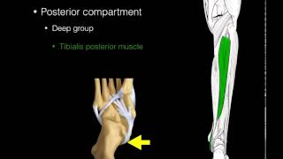 Download Posterior compartment leg muscles Video