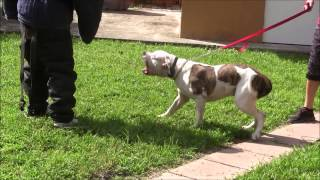 Download American Bulldog has lost his mind! RED ZONE DOG bites Miami Dog Whisperer Video