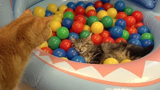 Download 10 Cats playing in a pool of colorful balls ボールプールで遊ぶ10匹の猫 Video