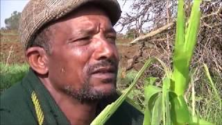 Download Fall Armyworms,Identification, Damage Indications and Control Video