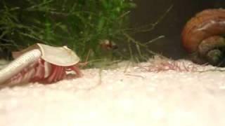 Download Instantní rybičky - kreveta trilobit 2.avi Video