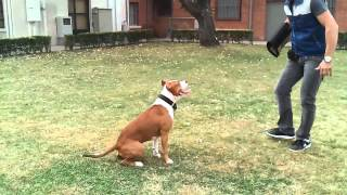 Download Amstaff training (Gillan) Video