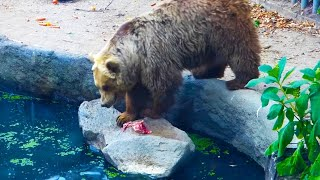 Download Bear Saves Bird From Drowning Video