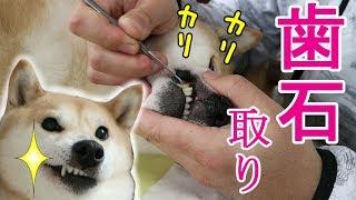 Download 柴犬小春 素人飼い主が愛犬の歯石取りに挑戦してみた!Scaling Koharu's Teeth Video