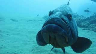 Download Diving with Felix the Dusky Grouper Playa Chica Lanzarote Video