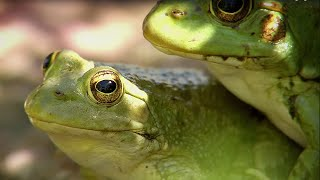Download Frogs Hunting Butterflies | BBC Earth Video