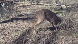 Download Men wrestle 8 point deer to save its life (buck) Video