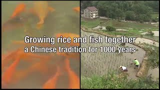 Download Growing rice and fish together in China Video