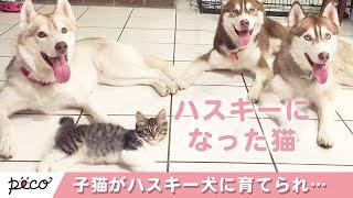 Download ハスキーに育てられた猫ちゃん🐱 一緒に生活をしているうちにハスキーのようになりました💕【PECO TV】 Video