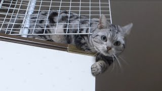 Download 母ちゃんが帰ってキター!!! うれしすぎて母ちゃんドン引き危ない猫- Too cute cat exiting when Mom comes back home Video