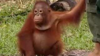Download Endangered animals - orangutans face extinction in Borneo due to deforestation - BBC wildlife Video