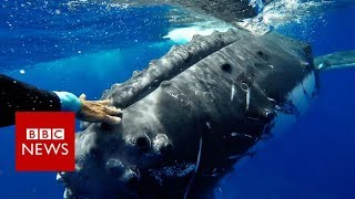 Download Whale 'saves' biologist from shark - BBC News Video