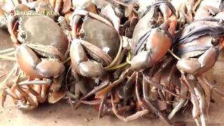 Download Indian LIve Fish , Crabs Market - Andhra Markets - Malkipuram - Egdt Video