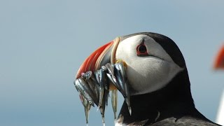 Download Puffins & Seabirds Of The Beautiful Farne Islands UK Video