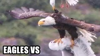 Download Eagle Attacks! (Real or Fake?) Bald Eagle, Golden Eagle Falcon Video