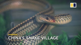 Download China's snake village, home to over 3 million snakes Video