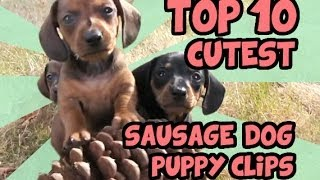 Download TOP 10 DACHSHUND PUPPY VIDEOS OF ALL TIME Video