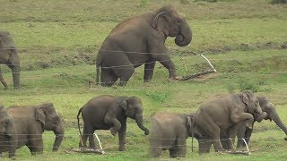 Download Herd of Wild elephants breaking an Electric fence ! Video