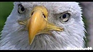 Download Eagle Cam Watch: Bald Eagles Await Hatching of Final Egg Video