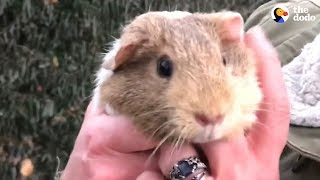 Download Guinea Pigs Get Rescued From Street — And There's A Surprise   The Dodo Video