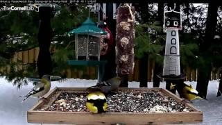 Download Pine and Evening Grosbeaks - Ontario - Jan. 18, 2017 Video