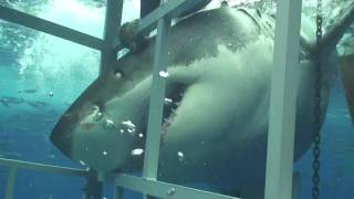 Download Great White Shark chomping on my cage off Guadalupe Mexico Video
