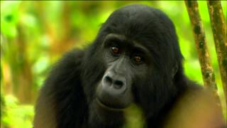 Download Gorilla Mating Games | Love in The Animal Kingdom | Nature on PBS Video