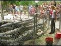 Download Rat Feeding Time at Everglades Alligator Farm - Florida Video