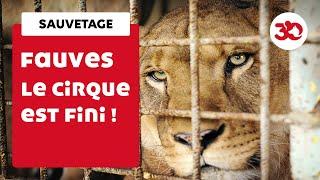 Download Le cirque James Dumas cède ses lions à la Fondation 30 Millions d'Amis Video