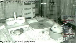 Download [모찌Live/햄스터] 실시간 햄스터 관찰 방송 Hamster Live #16-12-11 Video