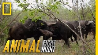 Download Buffalo Brawl | Animal Fight Night Video