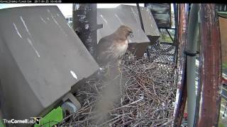 Download Big Red Brings a Stick to the Fernow Nest Site, April 25, 2017 Video