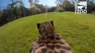 Download GoPro View of Cheetah Run - Cincinnati Zoo Video
