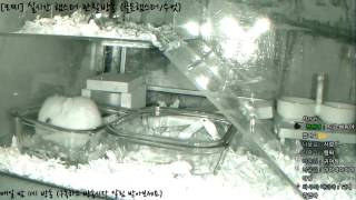 Download [모찌Live/햄스터] 실시간 햄스터 관찰 방송 Hamster Live #16-12-17 Video