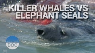 Download Killer Whales Vs Elephant Seals | Wild Animals - Planet Doc Full Documentaries Video