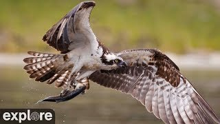 Download Audubon Boat House Osprey Nest powered by EXPLORE.org Video