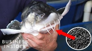 Download Inside America's Only Beluga Caviar Farm Video
