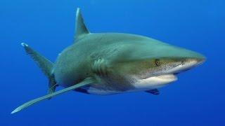 Download Requins, les nettoyeurs du lagon - Documentaire animalier Video