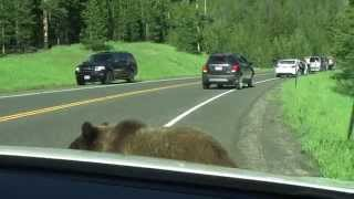 Download Yellowstone Grizzly Bear - ″Attacks″ Car Video