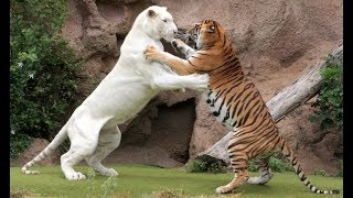 Download Tiger attack tiger - Animal fights - Rare white tiger vs tiger Easy fight Video
