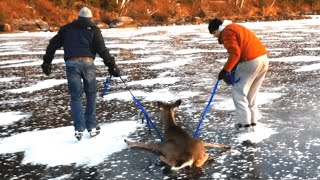 Download Bambi on Ice - Deer gets rescued from frozen lake Video