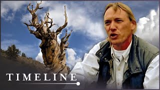 Download Oldest Tree On Earth: The Curse Of The Methuselah Tree (Nature History Documentary) | Timeline Video
