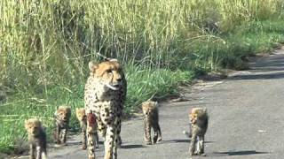 Download tydonsafaris presents a Cheetah and her Cubs Video