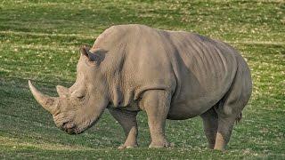 Download San Diego Zoo Kids - Rhino Crash Course Video