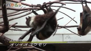 Download 上野動物園 コウモリ Video